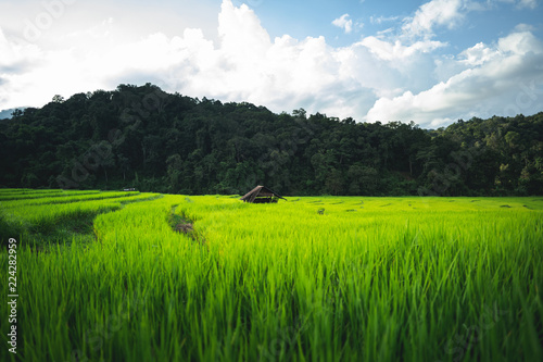rice plant Green rice field