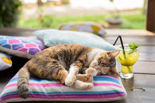 Cute Calico Cat Sleeping On Th...