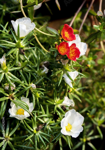 Spoed Foto op Canvas Natuur Red and White Portulaca