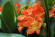 Leinwandbild Motiv beautiful rhododendron flower blooming in garden