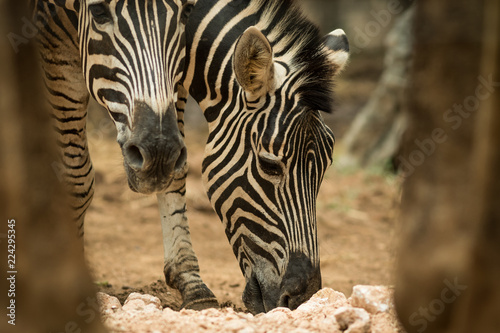 In de dag Zebra Zebra's head