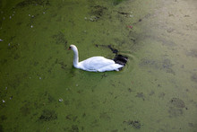 Swan Swimming In A Lake, Backg...