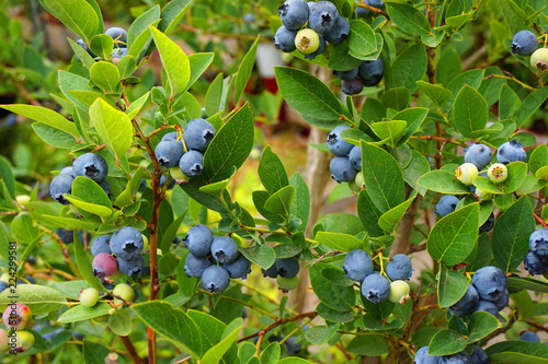blueberries plant with fruits Fototapete