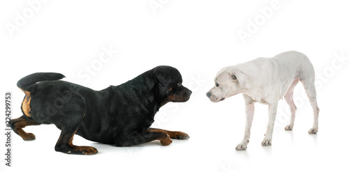 Poster Puma rottweiler and argentinian dog