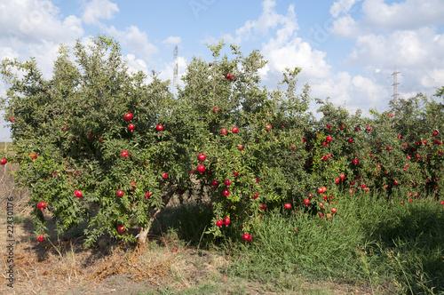 Staande foto Tuin Pomegranate orchard