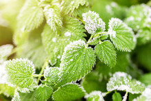 First Ground Frost Covered Fresh Green Nettle Leaves In Early Autumn Morning. Seasonal Act Of Nature. Beginnig Of Cold Season. Weather Forecast. Natural Foliage Fall Background