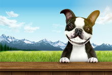 Smiling Boston Terrier