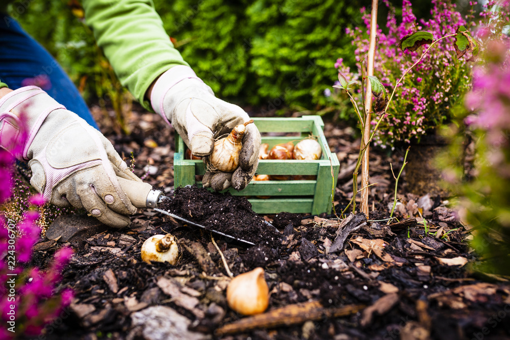 Fototapety, obrazy: Autumn planting bulbs of flowers in the garden.