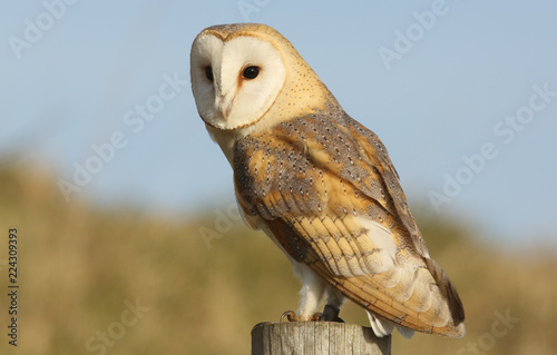 Keuken foto achterwand Uil A hunting Barn Owl (Tyto alba) perched on a post looking for its prey.