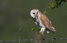 A Stunning Barn Owl (Tyto Alba) With A Common Shrew (Sorex Araneus) In Its Beak Which It Has Just Caught And Is About To Eat.