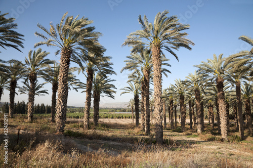 Foto op Plexiglas Palm boom Palm trees in The Jordan Valley