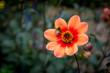 Hummel auf roter Blume