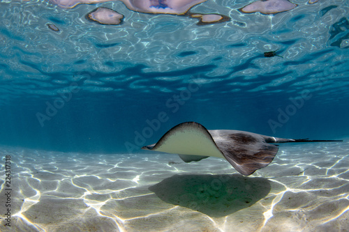 Poster Sous-marin sting ray in french polynesia