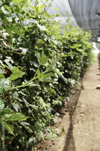 Blackberry berries on bushes, varying degrees of maturity