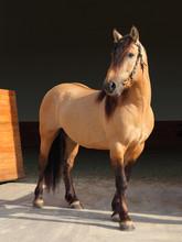 Paso Fino Horse Portrait In Stud Farm