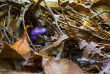 Mushroom True Prurple Mushroom, Toadstool Fungus With Light Tan Spotting And White Under Gills And Stem