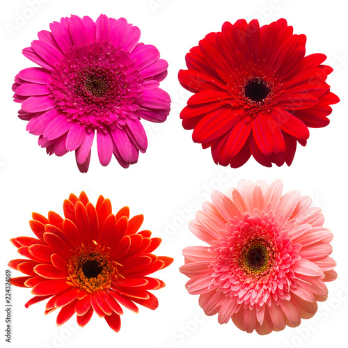 Poster Gerbera Collection of flower gerbera isolated on white background. Beautiful floral composition pattern, object. Flat lay, top view