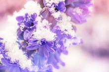 Close Up Of A Purple Hyacinth ...