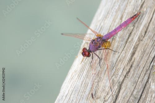 Fotografía  libélula rosa descansando sobre madera