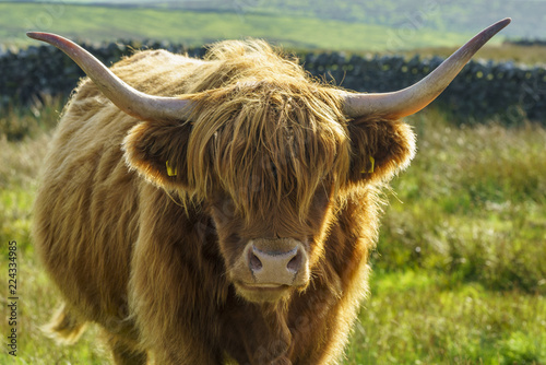 Fototapety, obrazy: Close up of a backlit portrait of a highland cow