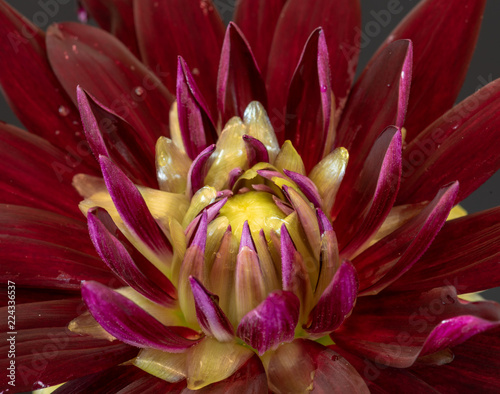 In de dag Dahlia Floral fine art still life detailed color macro flower portrait image of the innner of a single isolated blooming red yellow wide open dahlia blossom