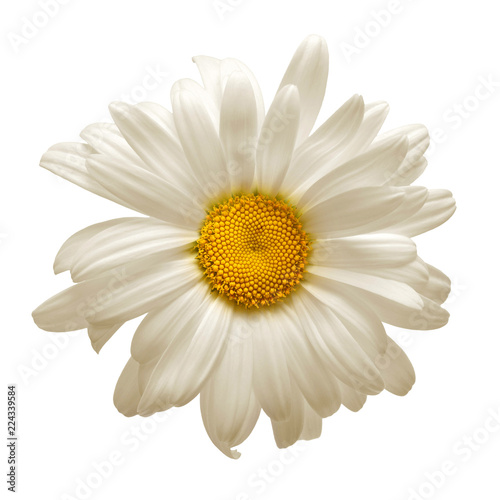 Foto op Plexiglas Madeliefjes One white daisy flower isolated on white background. Flat lay, top view. Floral pattern, object