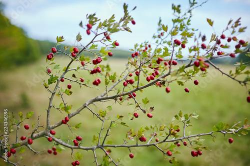 Poster Nature Hawthorn bush ripe