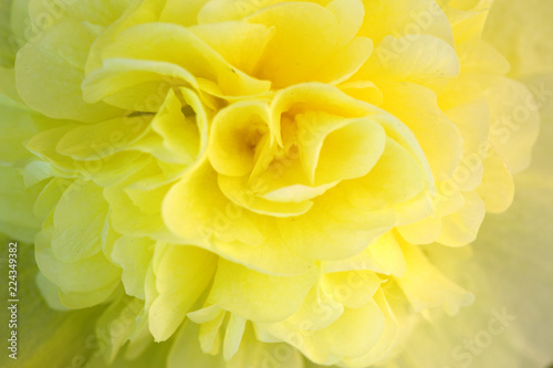 Foto op Canvas Bloemen Close up of yellow hollyhock blossom .Flower background.
