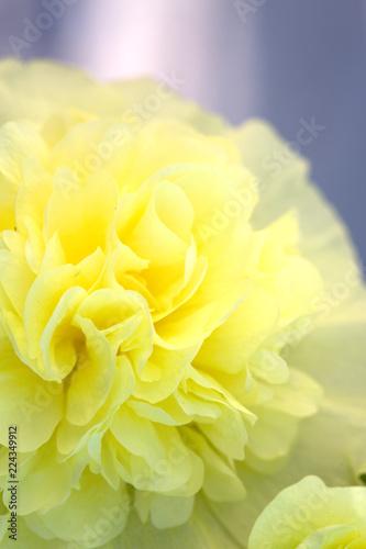 Foto op Canvas Bloemen Close up of yellow hollyhock blossom .Flower background.