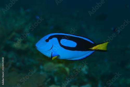 Fotografie, Tablou  Blue Surgeonfish Paracanthurus hepatus