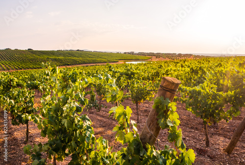 Vines in a vineyard in Alentejo region, Portugal, at sunset Canvas Print