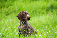 German Shorthaired Pointer, German Kurtshaar One Brown Spotted Puppy Photo In Profile, The Dog Sits On A High Bright Green Grass, A Beautiful Animal With Long Ears