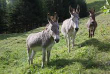 Esel Auf Weide, Südtirol, Ita...