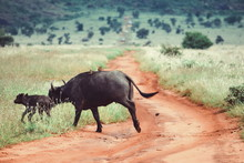 Buffalo And A Calf Crossing A ...