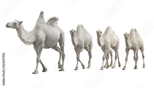 Keuken foto achterwand Kameel caravan white camel isolated
