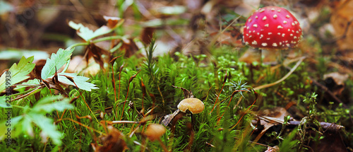 Poisonous mushrooms in the forest, the fly agaric is red Canvas Print