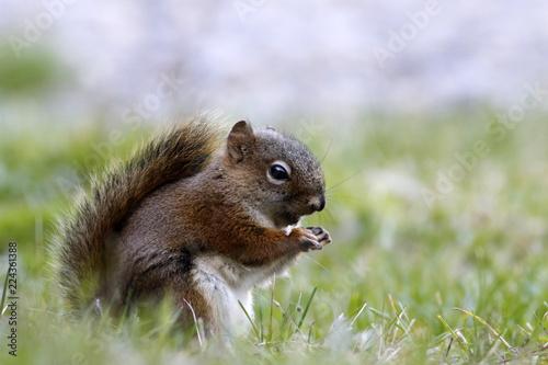 Foto op Canvas Eekhoorn écureuil
