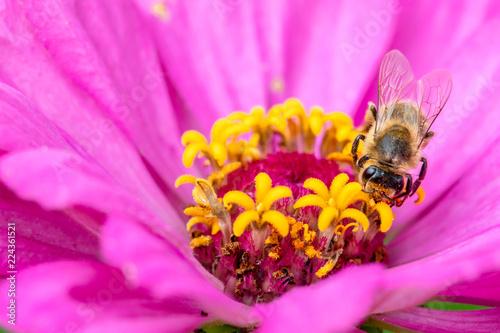 Staande foto Bee Honeybee or Bee on flower doing polliniation