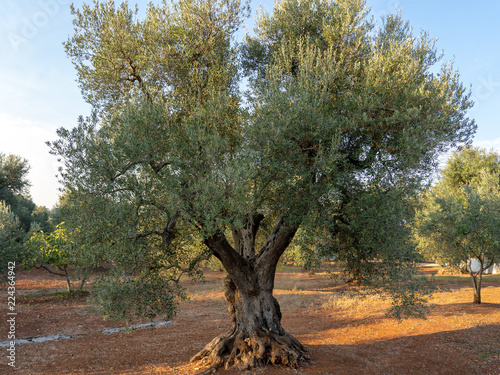 In de dag Olijfboom Grand Old Olive Tree