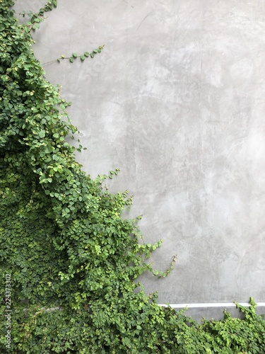 Poster Wand Green ivy on the wall, stucco, concrete grey with room for text, nice background