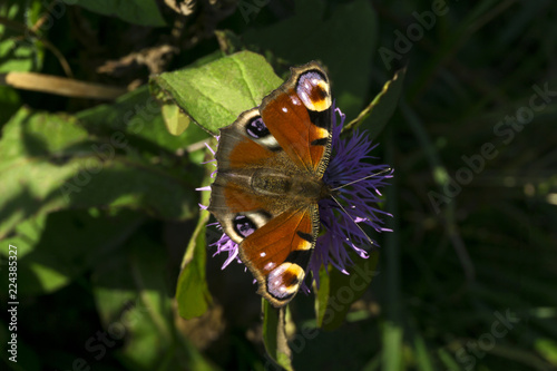 Valokuva  beautiful peacock butterfly sits on a thistle flower close-up..