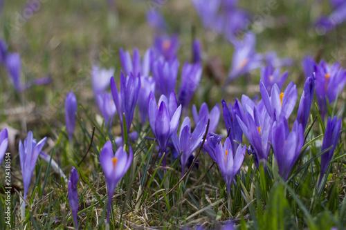 Keuken foto achterwand Krokussen spring crocus flowers