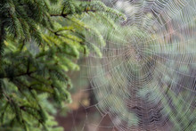 Beautiful Cobweb Cowered With Dew Drops, Spreaded Between Trees In A Garden