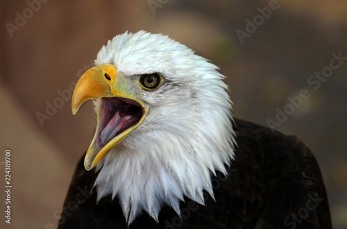 The American bald eagle head. The bird opens it's beak looks like attempting make a sound.