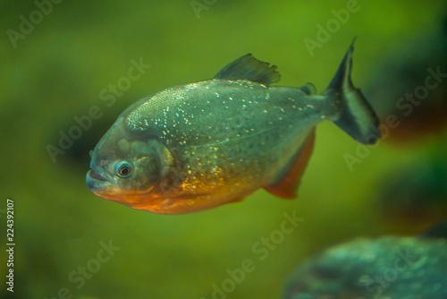 Fotografie, Obraz  piranha floats in the river