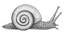 Snail, Ink Hand Drawn Vintage Illustration