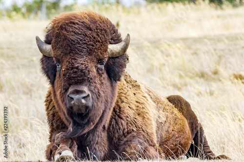 Spoed Foto op Canvas Bison Bison in the pasture