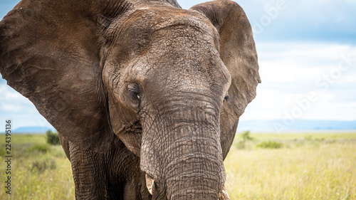 Foto op Aluminium Olifant African wild elephant close up. Africa. Tanzania.