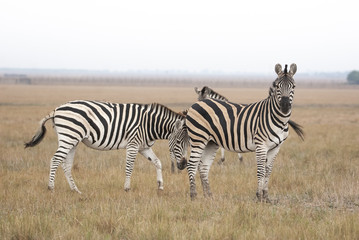 Fototapeta na wymiar Cape mountain zebra (Equus zebra) mare with foal, Mountain Zebra National Park, South Africa