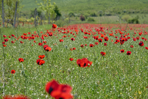 Red poppies grow on a green field.